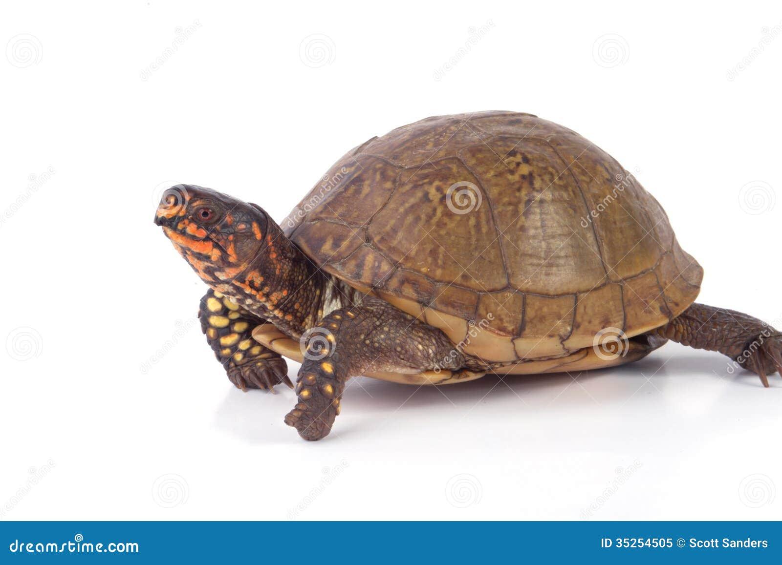 box turtle royalty free stock photo image 35254505