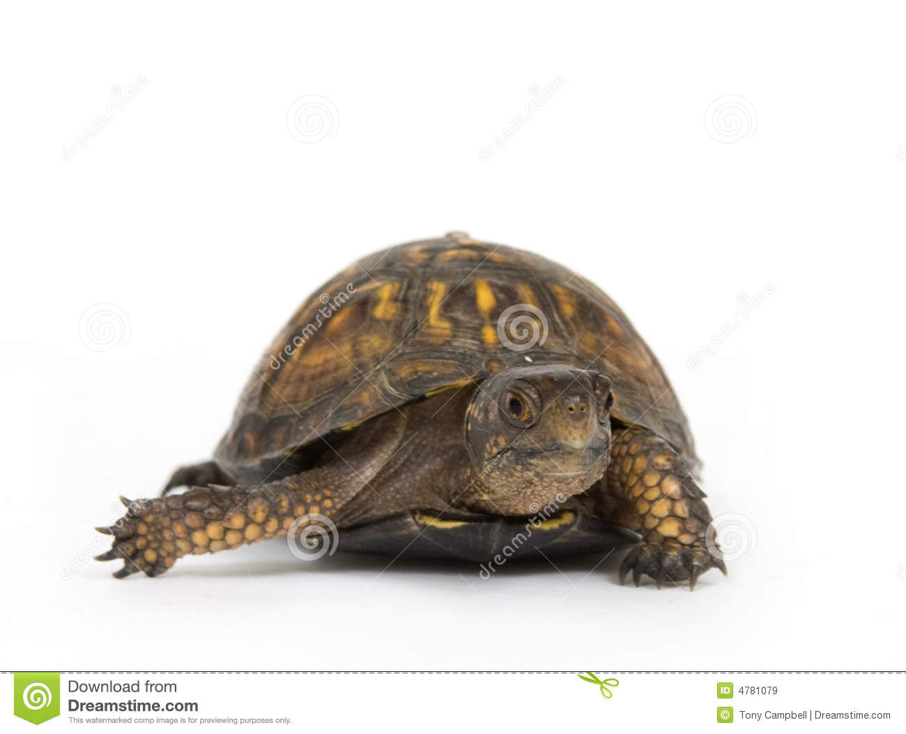 box turtle on a white background royalty free stock images