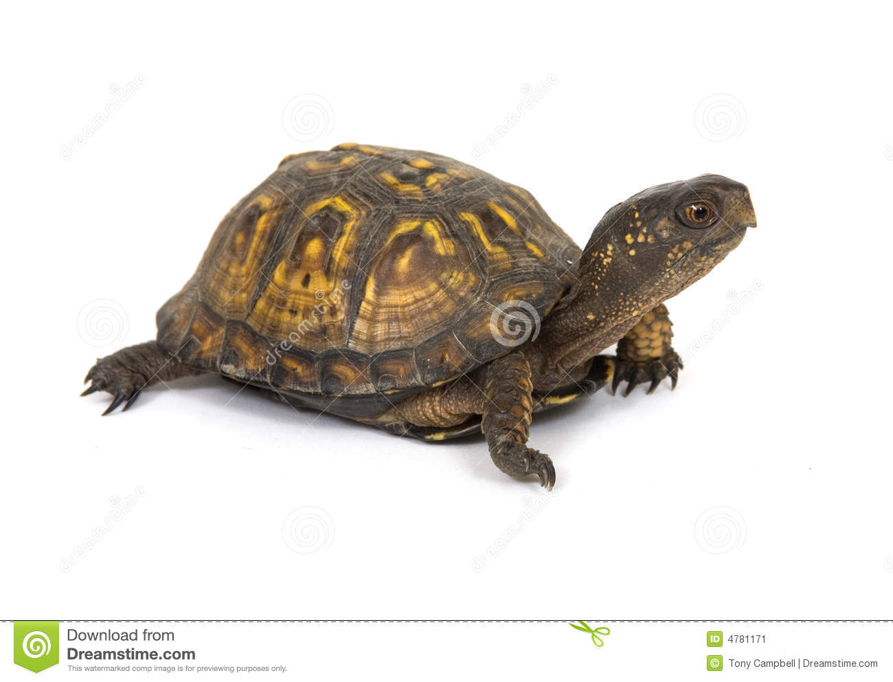 box turtle on a white background stock image image of