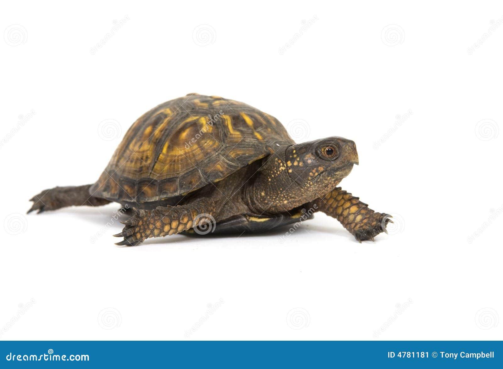 box turtle on a white background stock image image 4781181