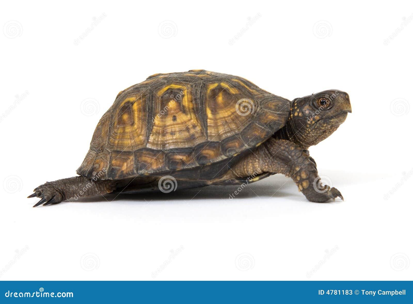 box turtle on a white background stock photos image 4781183