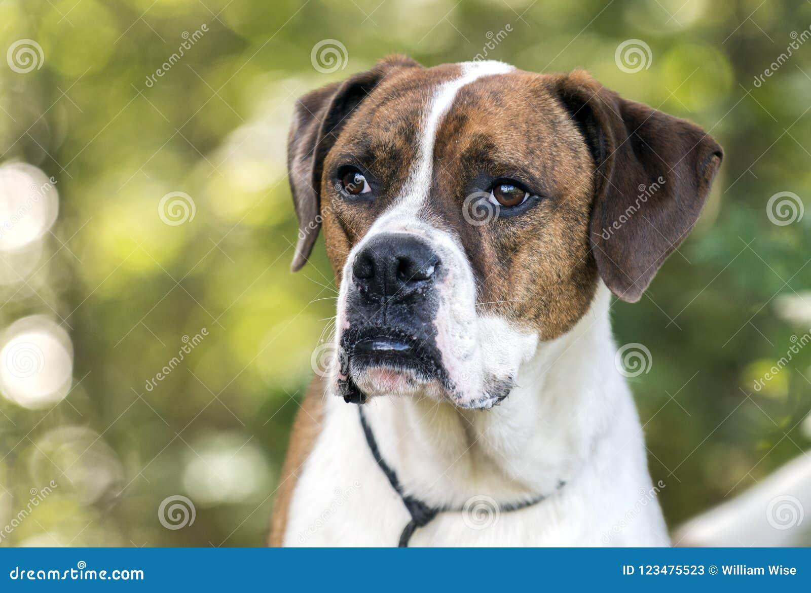Boxer American Bulldog Mixed Breed Dog Stock Image - Image of bull