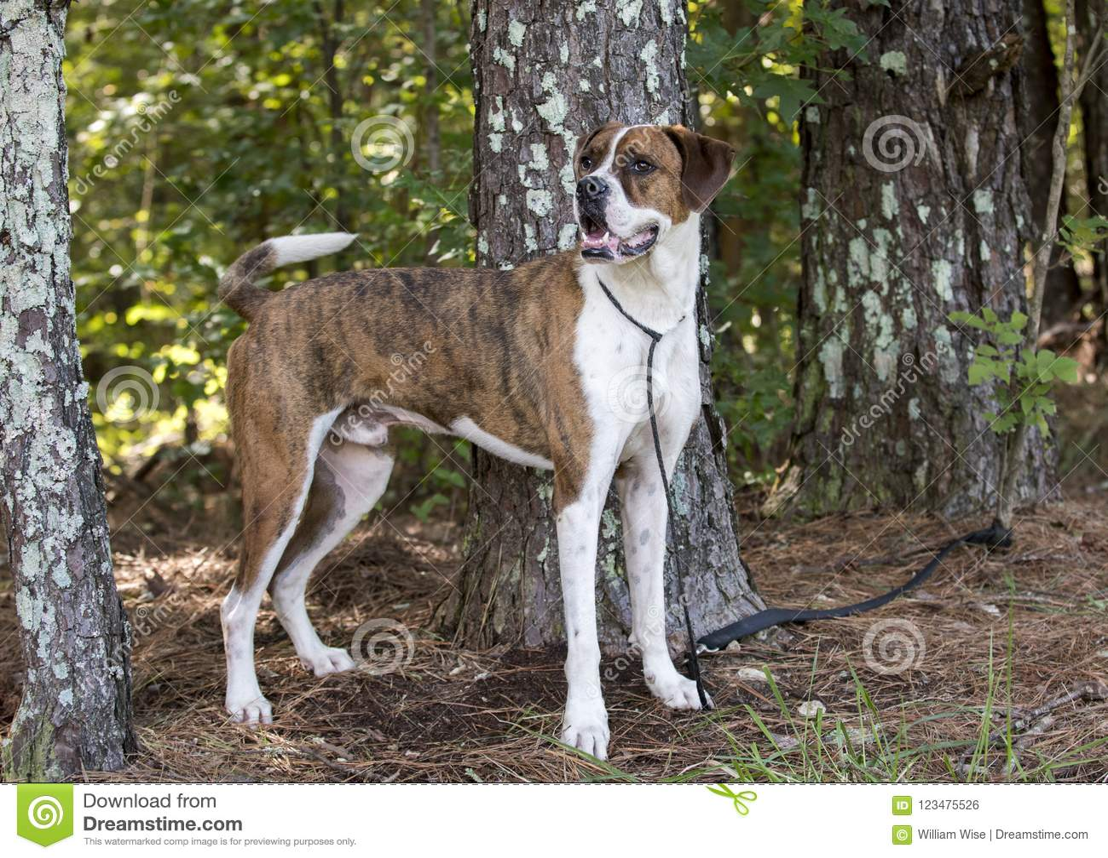 Boxer American Bulldog Mixed Breed Dog Stock Photo - Image