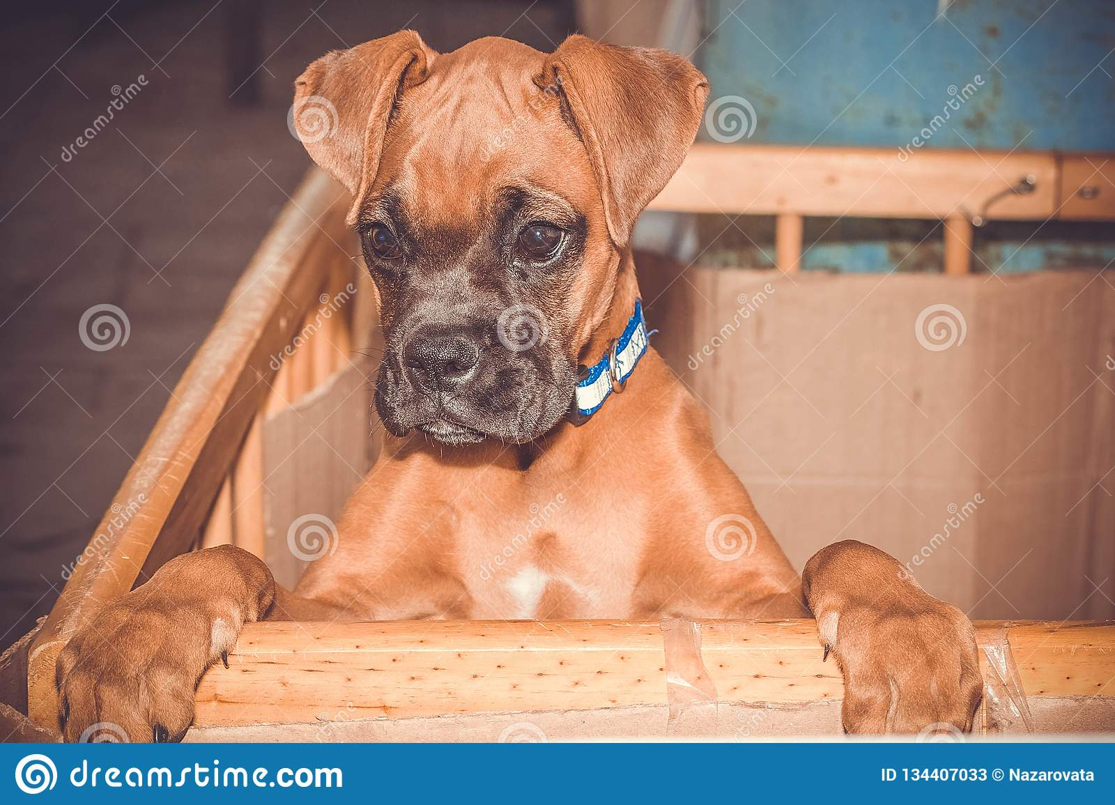 Boxer breed puppy
