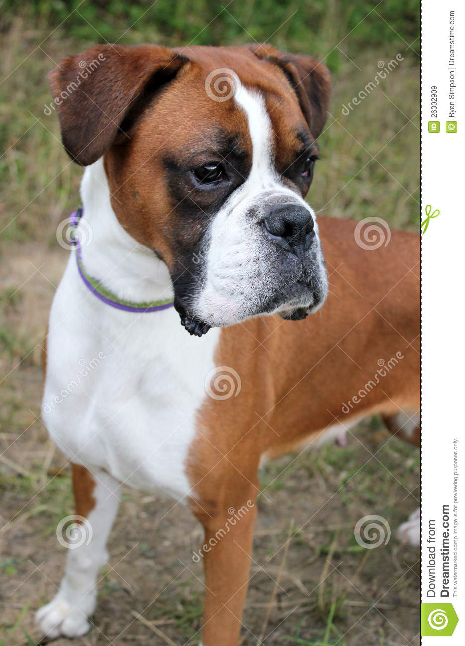 Boxer dog stock image. Image of registered, park, outdoors ...