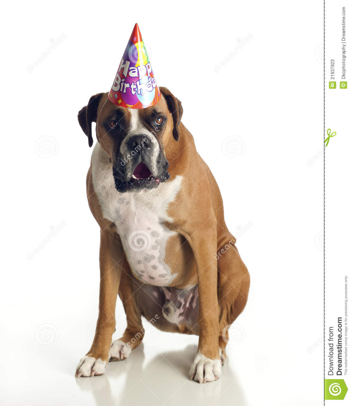 Boxer Dog Wearing A Birthday Hat And Singing Happy