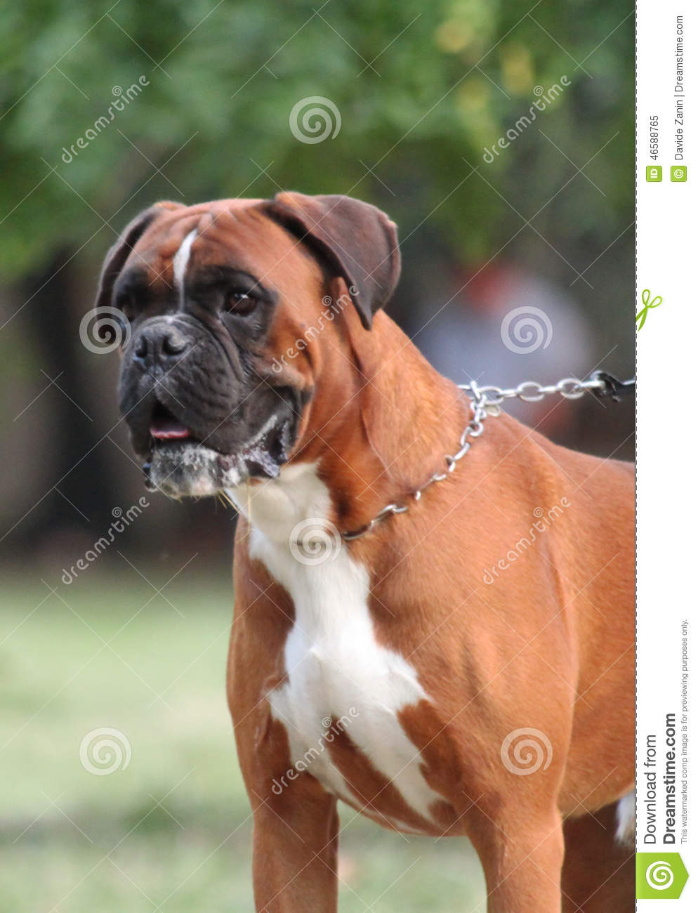 The Boxer dog