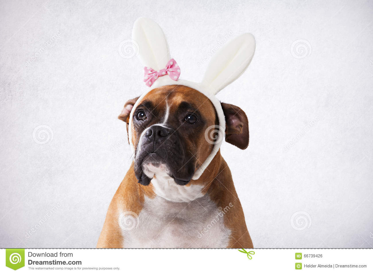 Pets: Boxer puppy and rabbit photo WP36768  Boxer Dogs With Bunnies