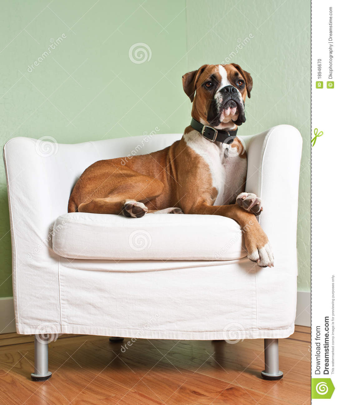 Sparta Sectional By Nicoletti in addition Full Lace Passion Open Lucrative Lingerie Including Stockings 461303 furthermore Modern Living Room Designs moreover Stock Photo Boxer Dog Chair Image18946670 further Desk With Shelves. on white modern high chair