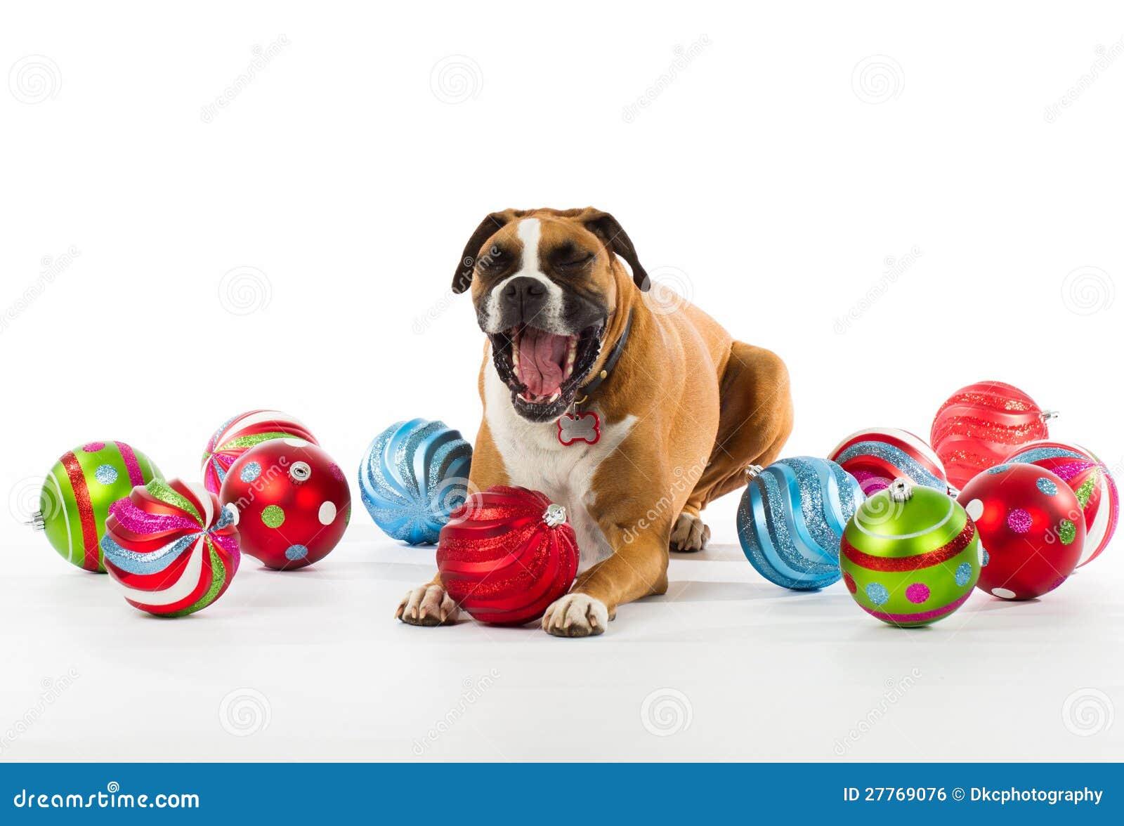 Dog christmas ornaments - Boxer Dog With Christmas Ornaments Royalty Free Stock Image