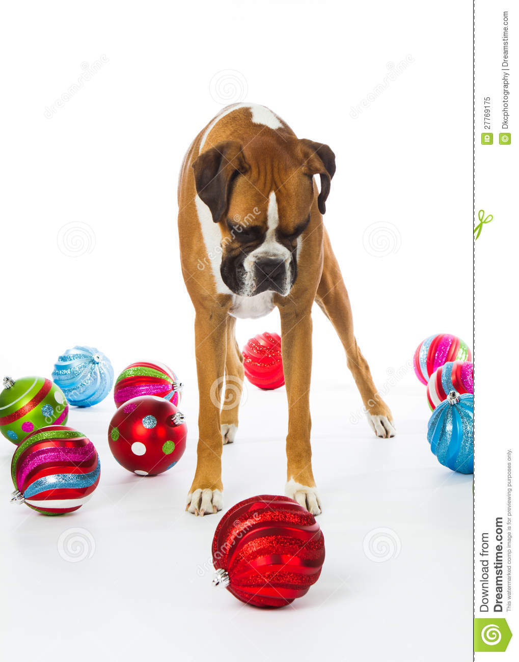 boxer dog with christmas ornaments royalty free stock