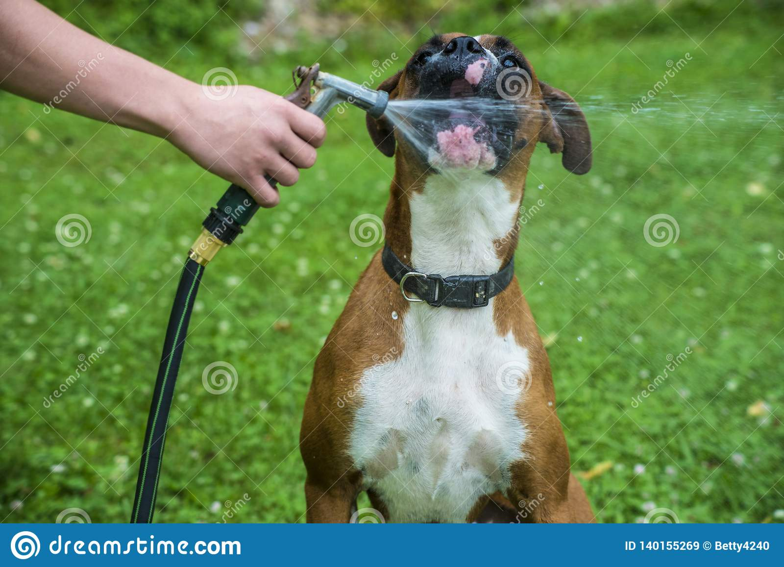 Boxer Dog Drinks Water From A Garden Hose. Stock Image - Image of ...
