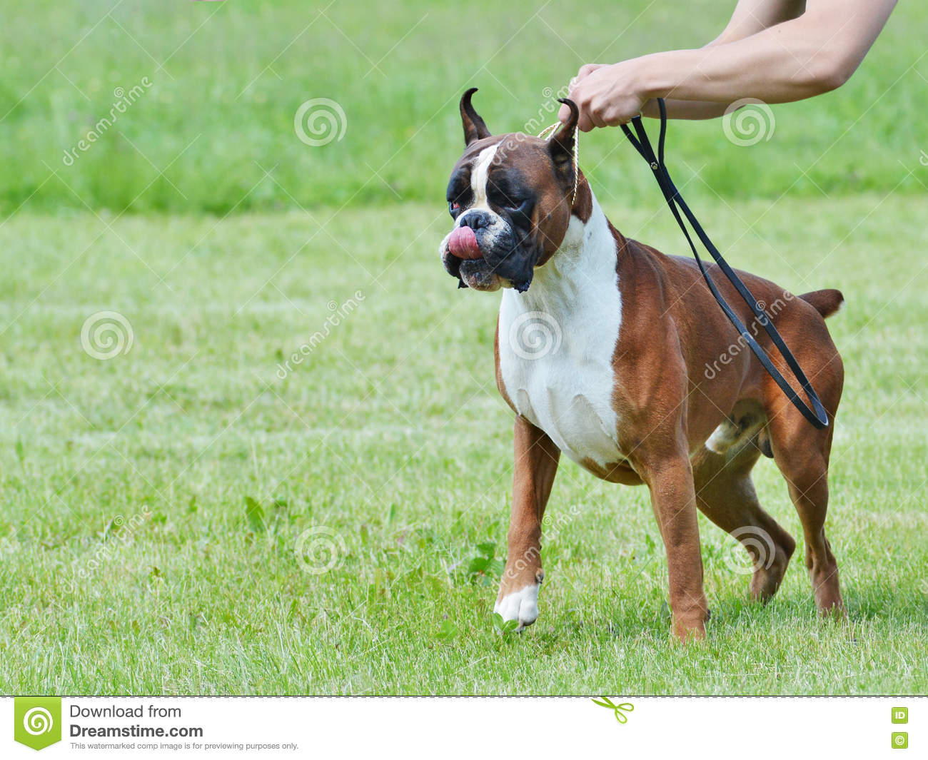 How To Walk A Big Dog That Pulls