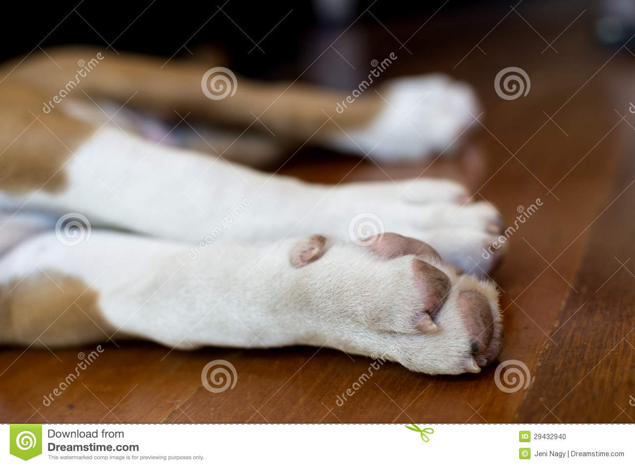 Boxer Dog Paws Stock Photo Image Of Brown Young Canine