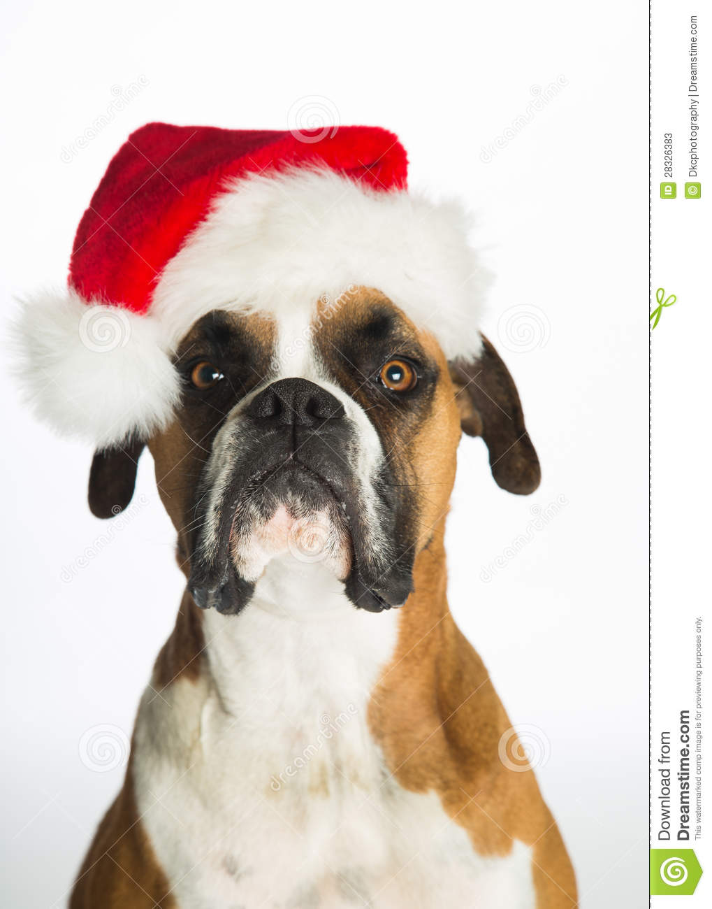 Boxer dog in santa hat stock image of looking