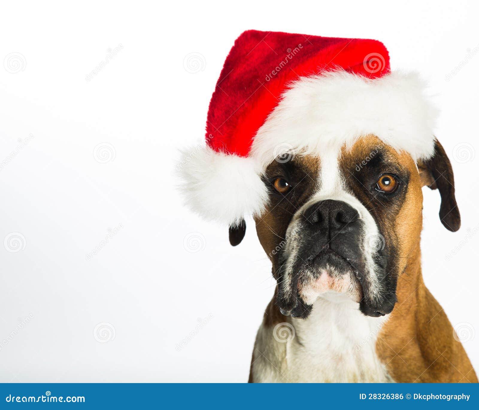 Boxer Dog In Santa Hat Stock Photo Image Of Santa Boxer