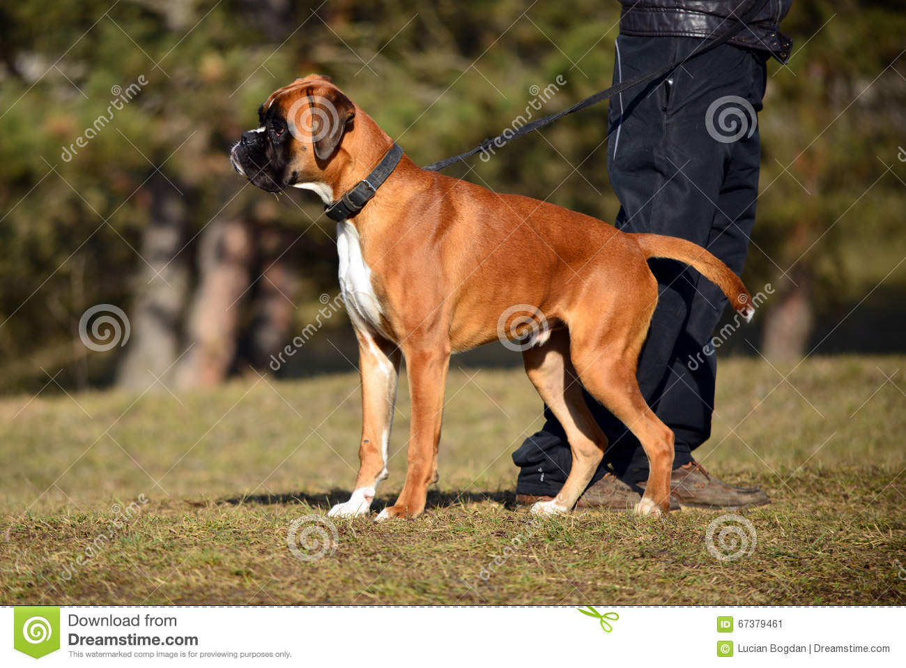 Boxer Dog on a Walk