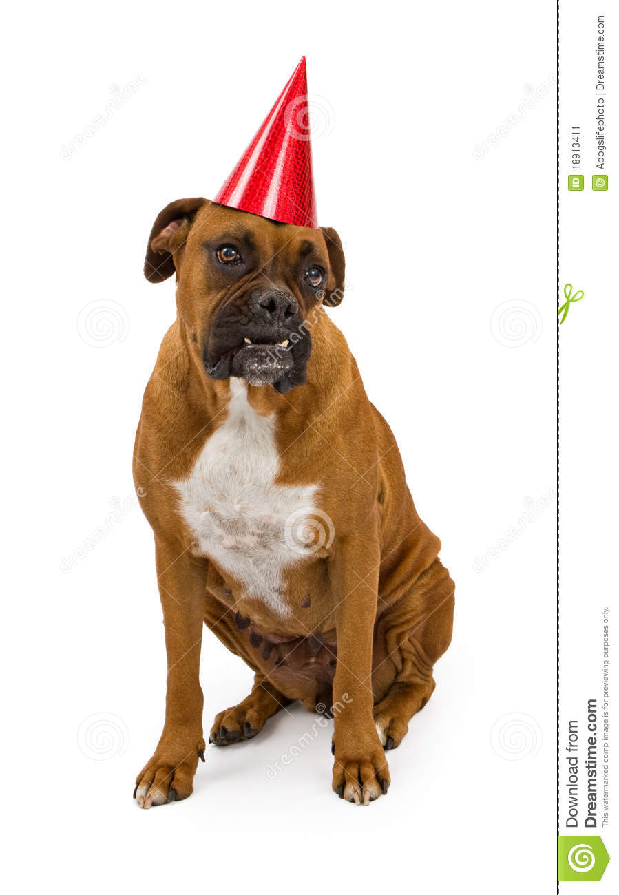 Boxer Dog Wearing A Birthday Hat Stock Image