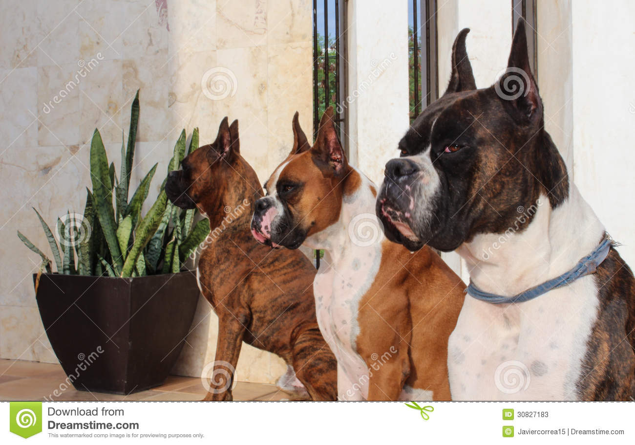Three purebred Boxer dogs with Brindle and Fawn coat colors.