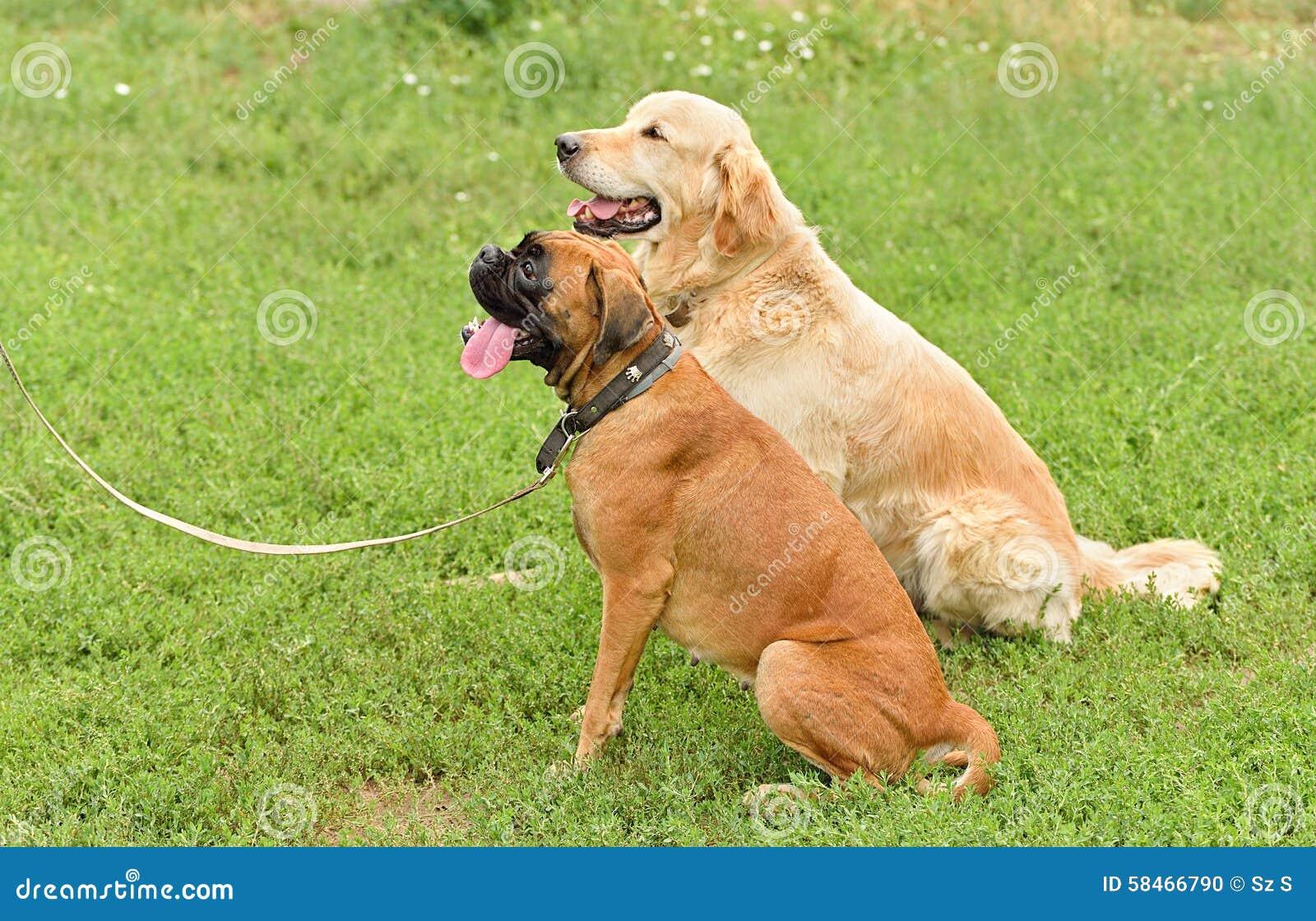 Boxer And Golden Retriever Portrait Stock Photo Image Of Calm