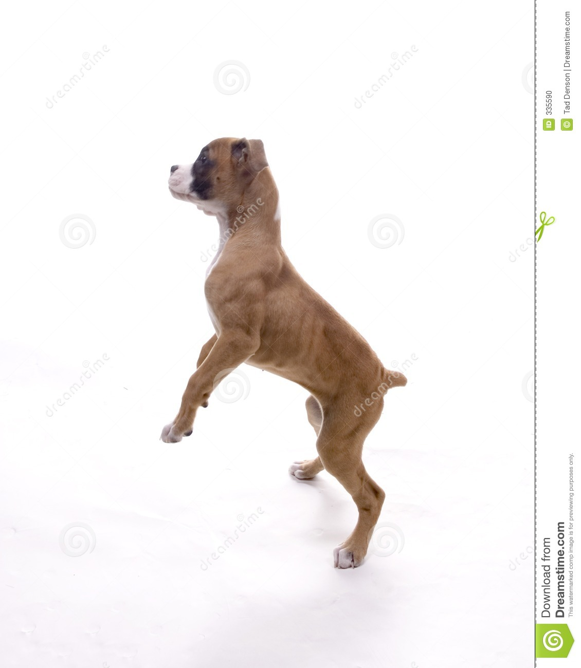 Boxer Dog With  Legs