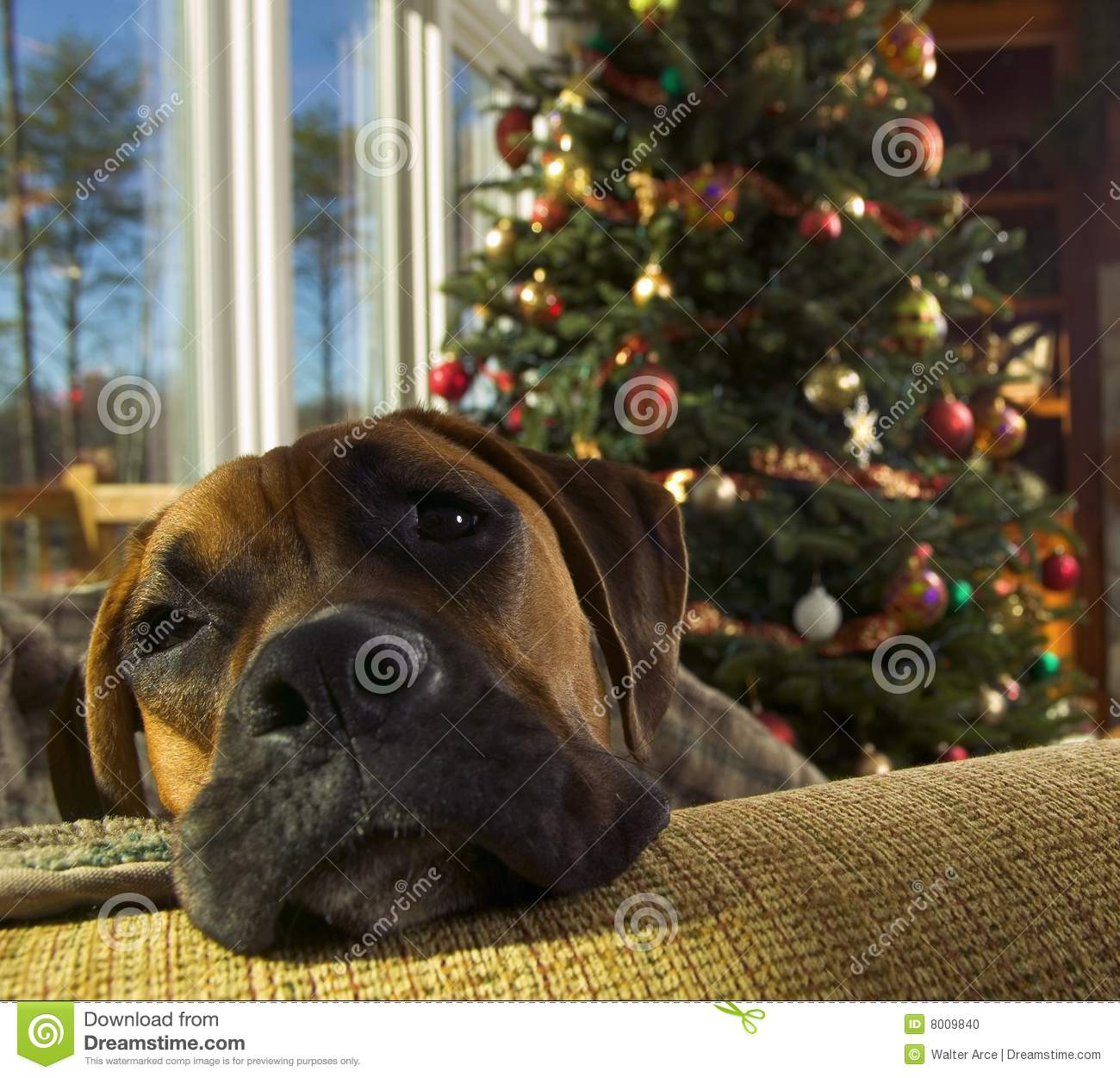 boxer hund am weihnachten stockfoto bild von hund. Black Bedroom Furniture Sets. Home Design Ideas