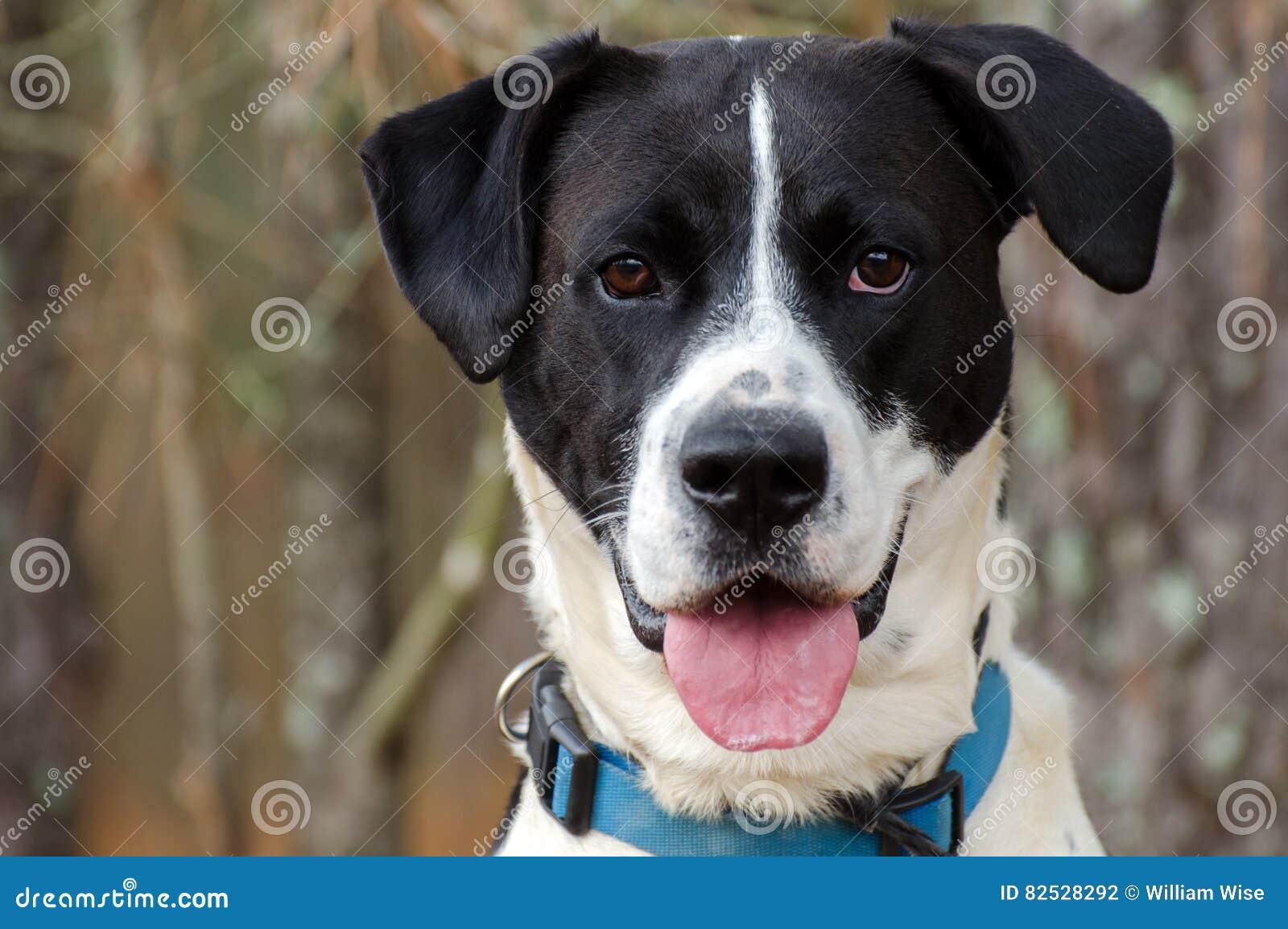 Boxer-Laborglückliche Hundezunge, Tierheim-Porträt