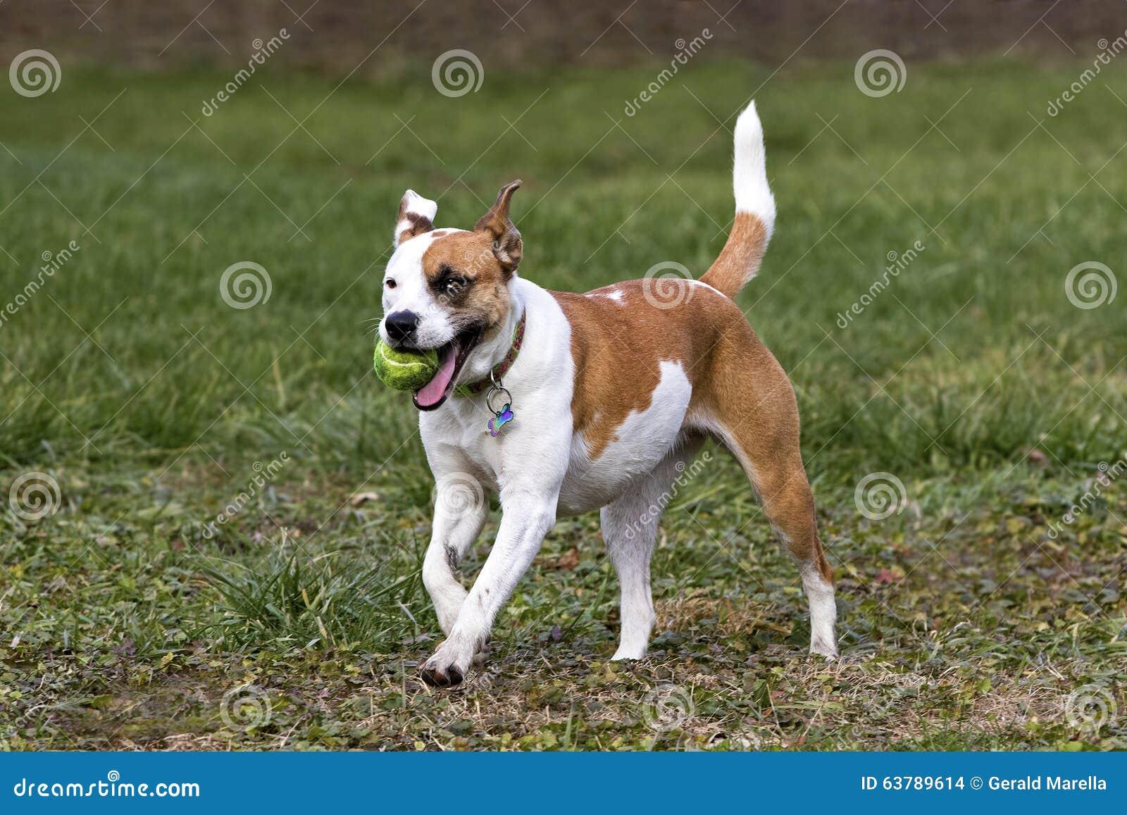 Happy Dogs Smiling Boxer Labrador Retriev...