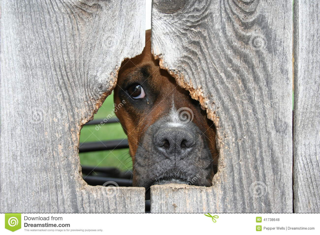 Boxer Dog Through Wooden Fence Stock Photo Image Of