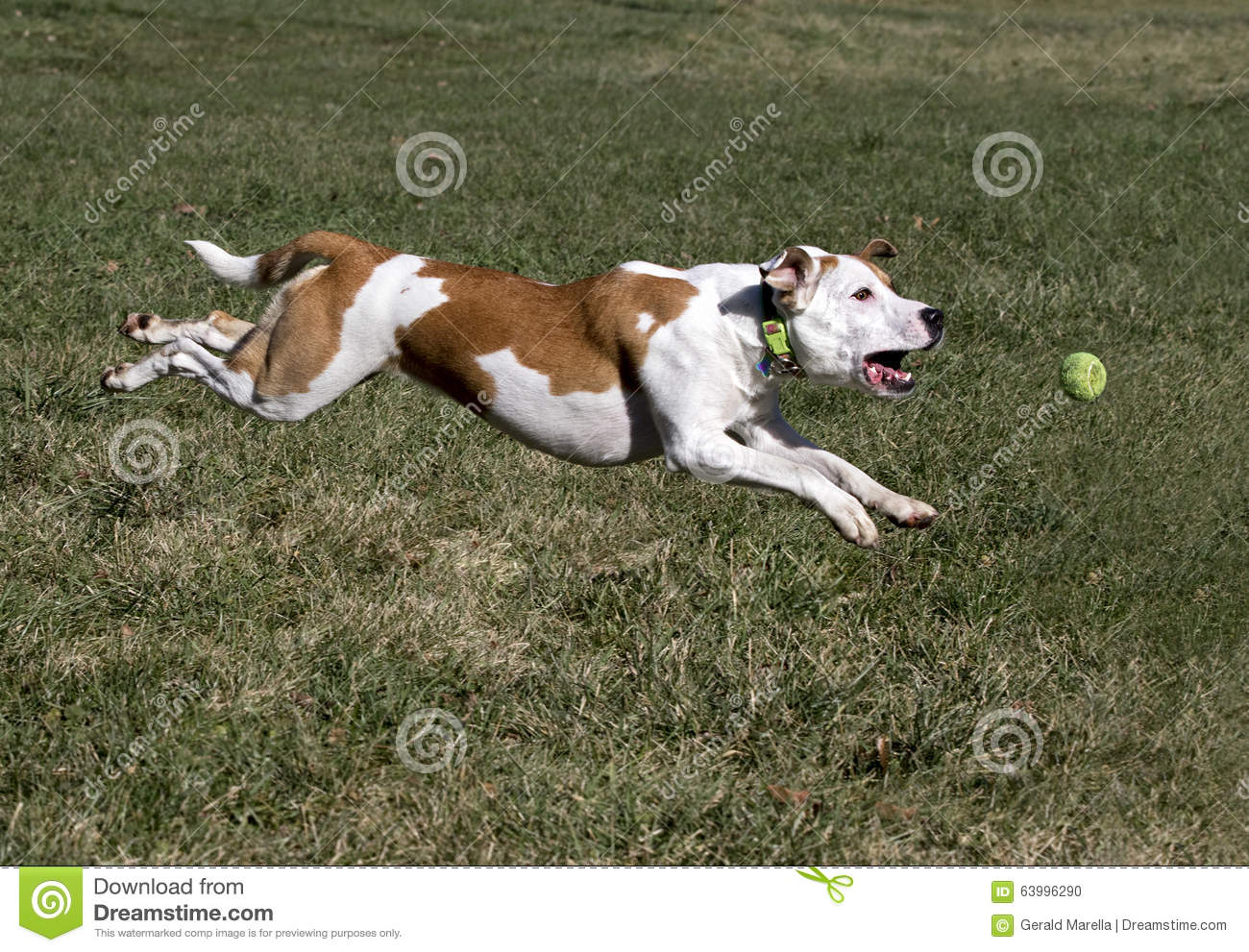 Boxer Pit Bull Mixed Breed Puppy Stock Photo - Image: 63996290