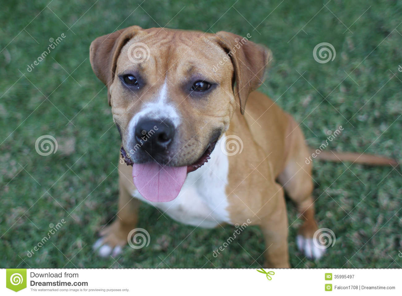 Boxer And Pitbull Mix Royalty Free Stock Photography - Image: 35995497