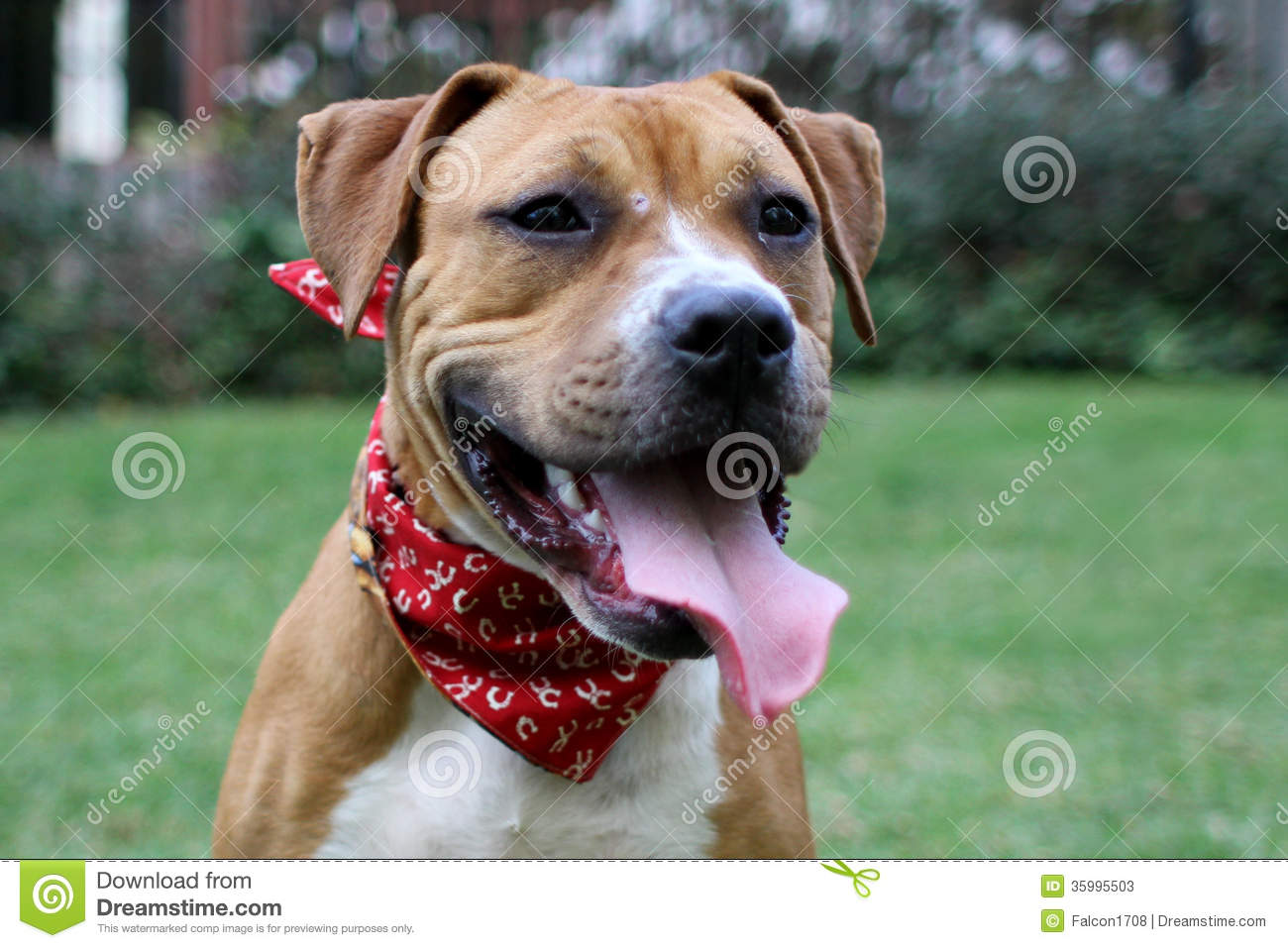 Boxer And Pitbull Mix Stock Photos - Image: 35995503