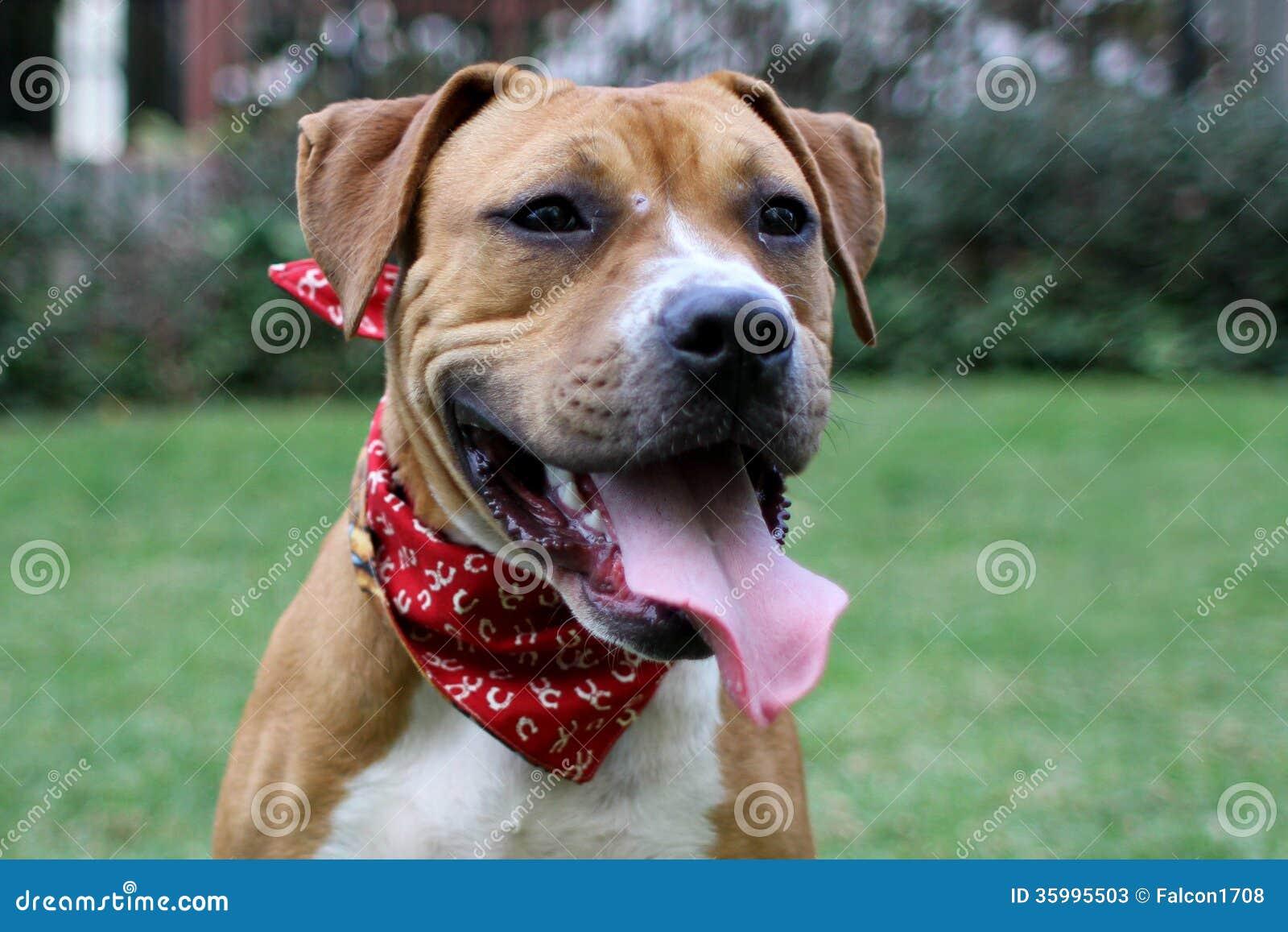 Boxer And Pitbull Mix Stock Photos - Image: 35995503