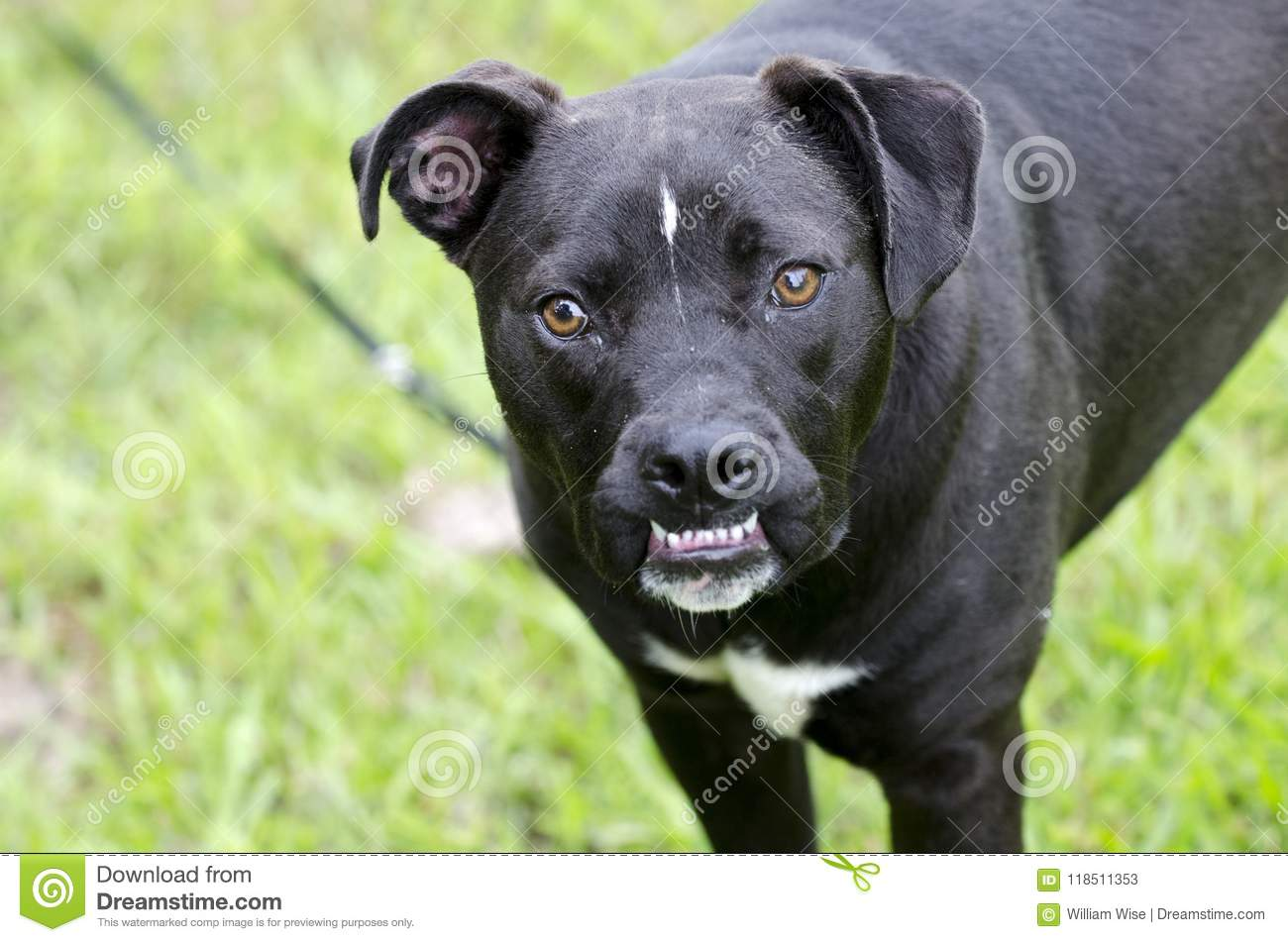 Boxer Pitbull Mixed Breed Dog With Underbite Stock Image Image Of Underbite Monroe 118511353