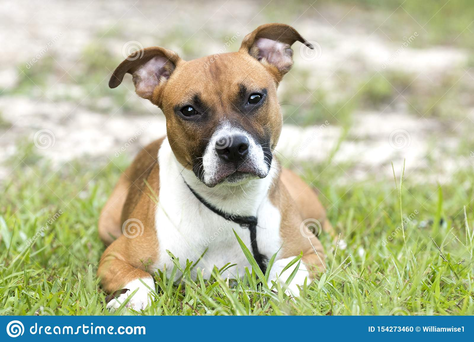 Boxer Pitbull Mixed Breed Puppy Laying Down Outside Stock