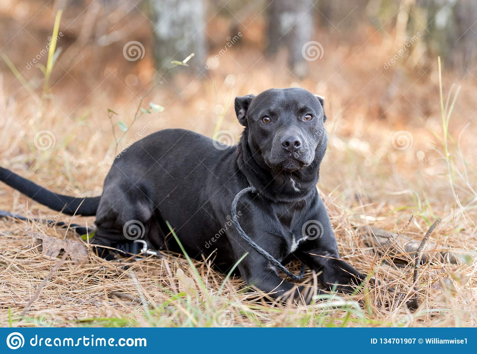 Boxer Pitbull Mixed Breed Puppy Laying Down Stock Image