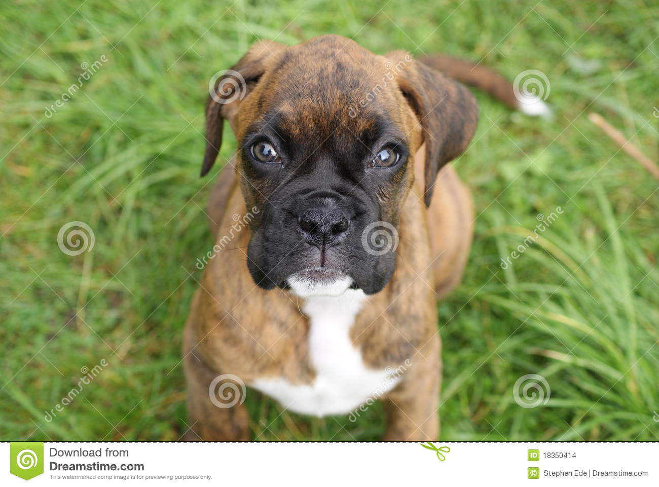 boxer puppy stock photo image of garden cute brindle 18350414