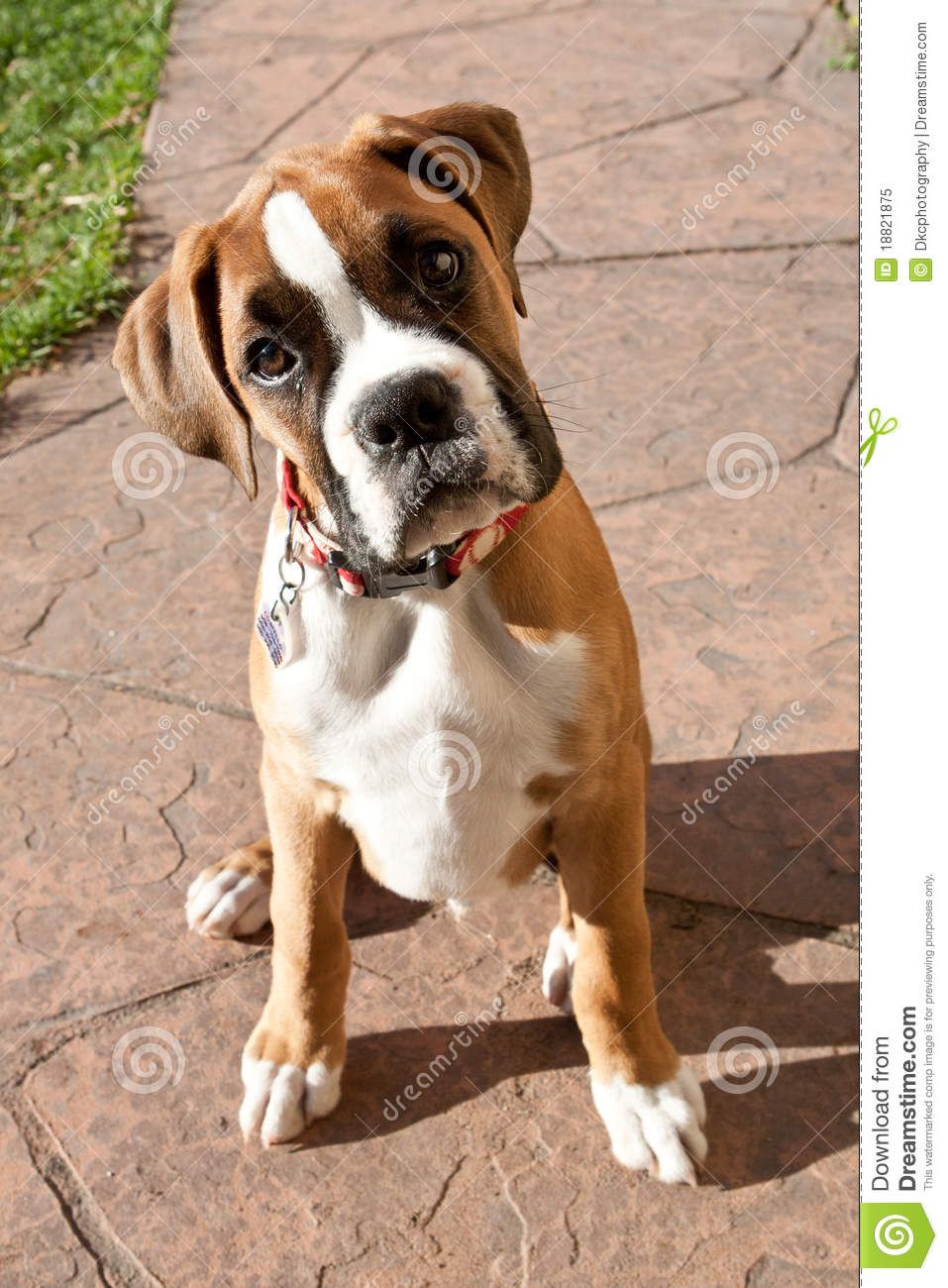 boxer puppy chewing a dog food bone royalty