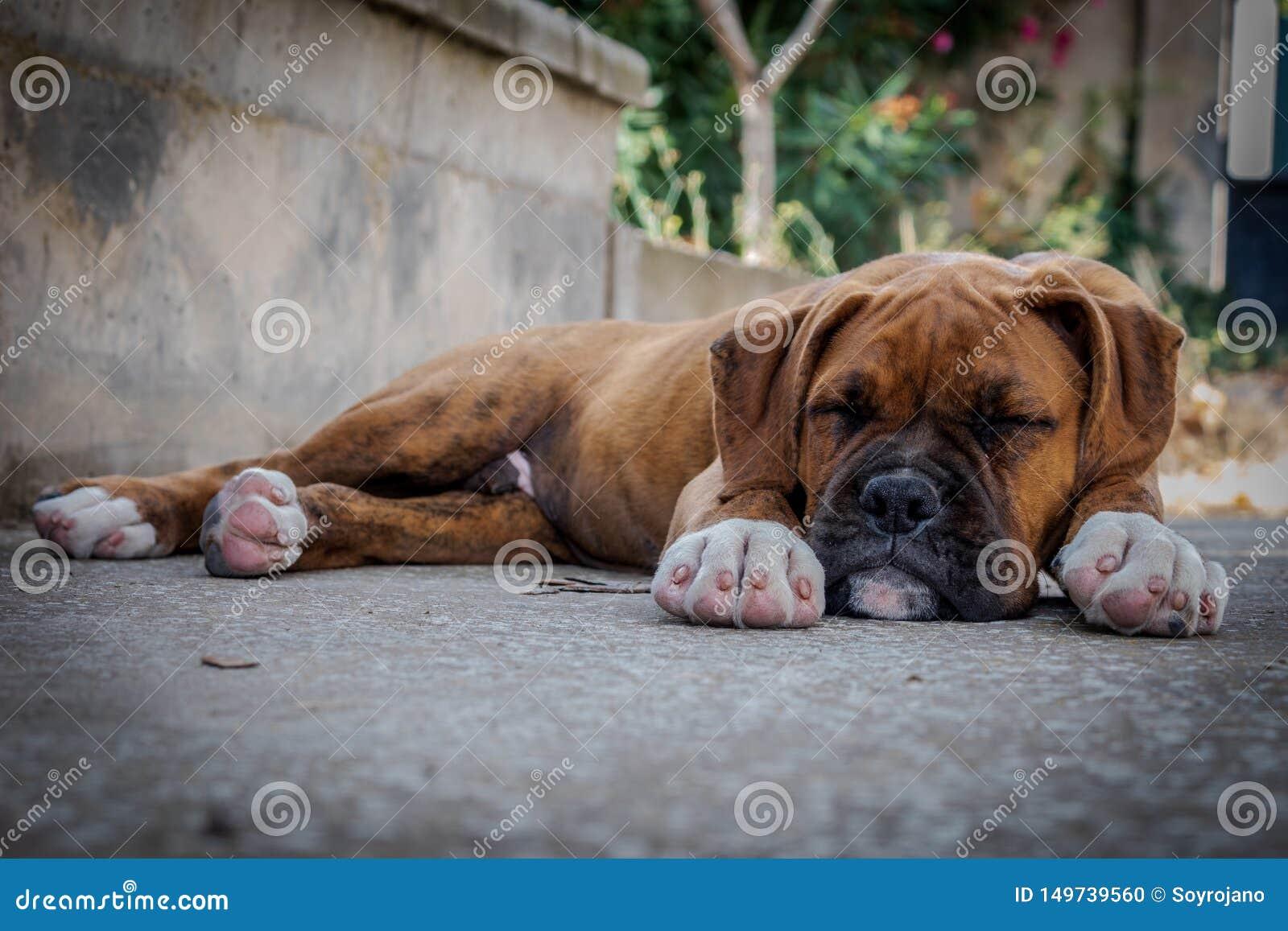 Boxer puppy sleeping in the floor