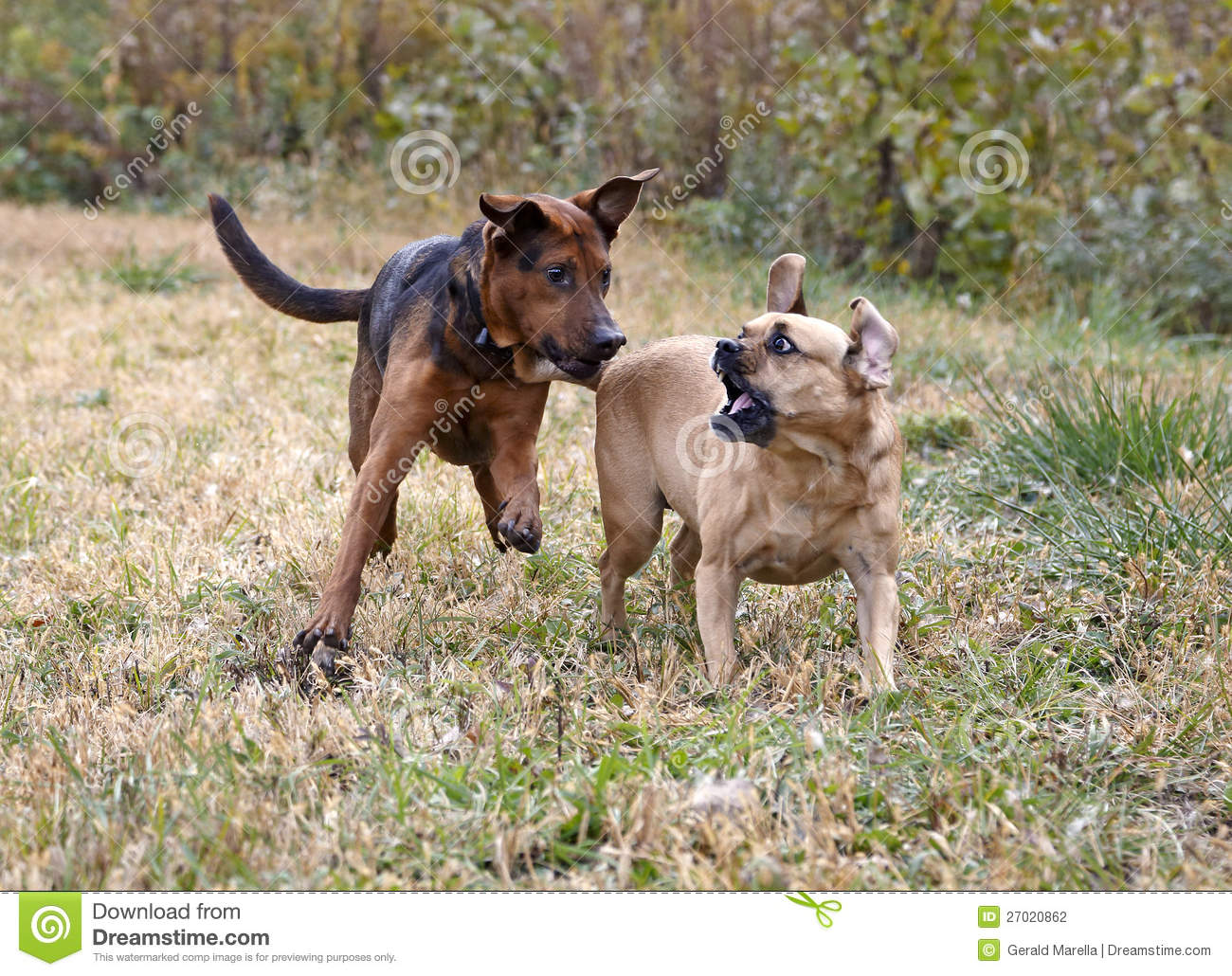 Boxer Shepherd and Puggle mixed breed dogs play in a field.