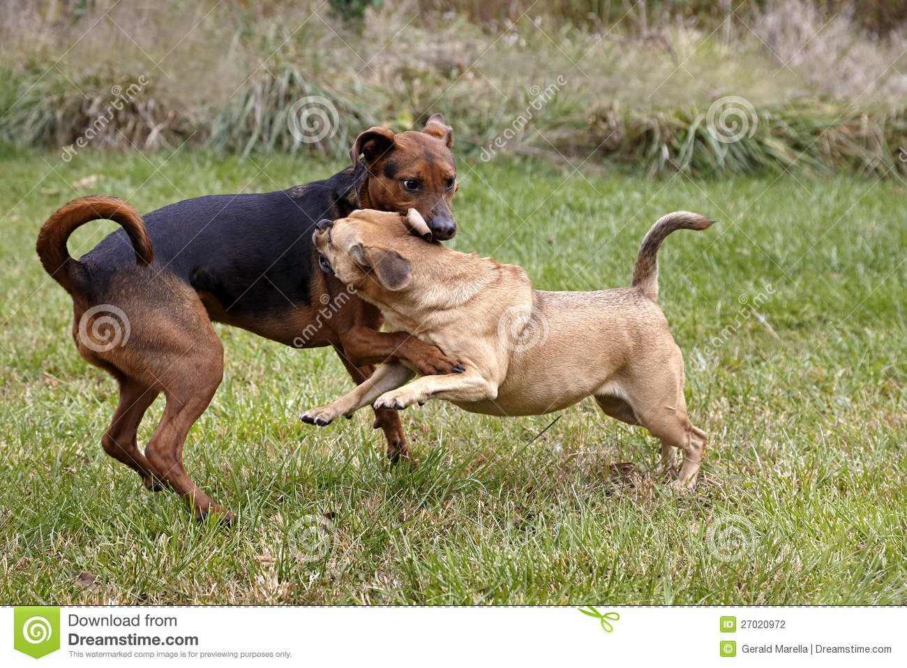Boxer Shepherd And Puggle Mixed Breed Dogs Stock Photography - Image ...