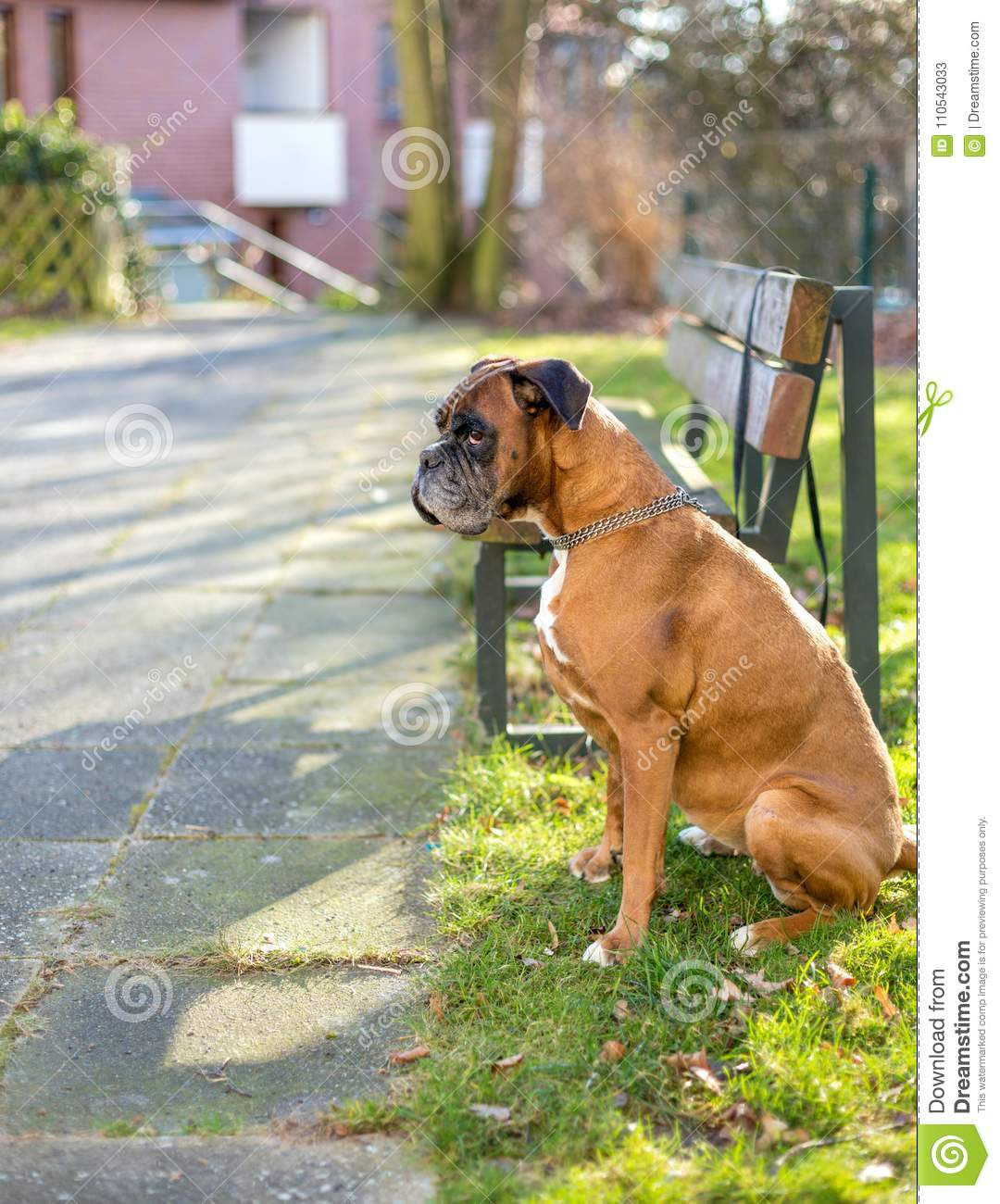 Boxer waits for owner