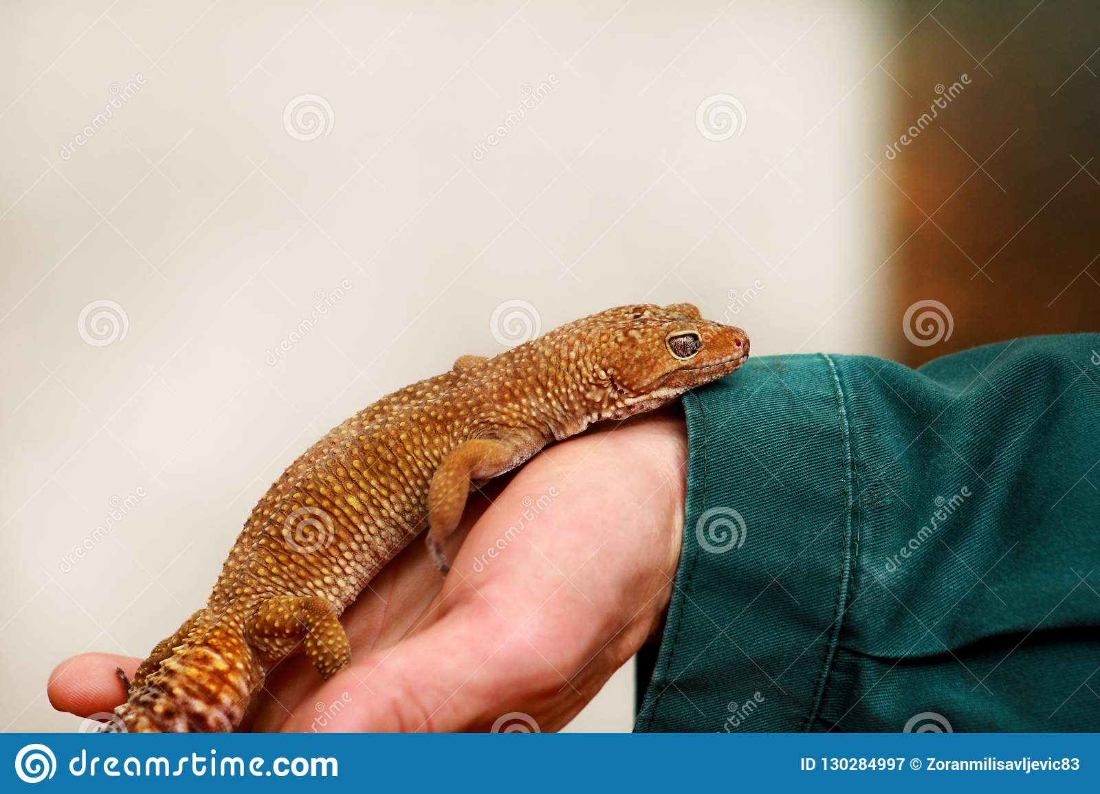 Boy With Gecko Man Holds In Hands Reptile Gecko Common Leopard Reptile Gecko Pets Exotic Tropical Cold Blooded Animals Zoo Stock Image Image Of Colorful Hand 130284997