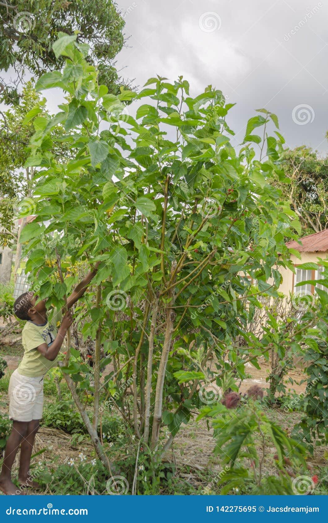 Boy Harvesting Mulberries