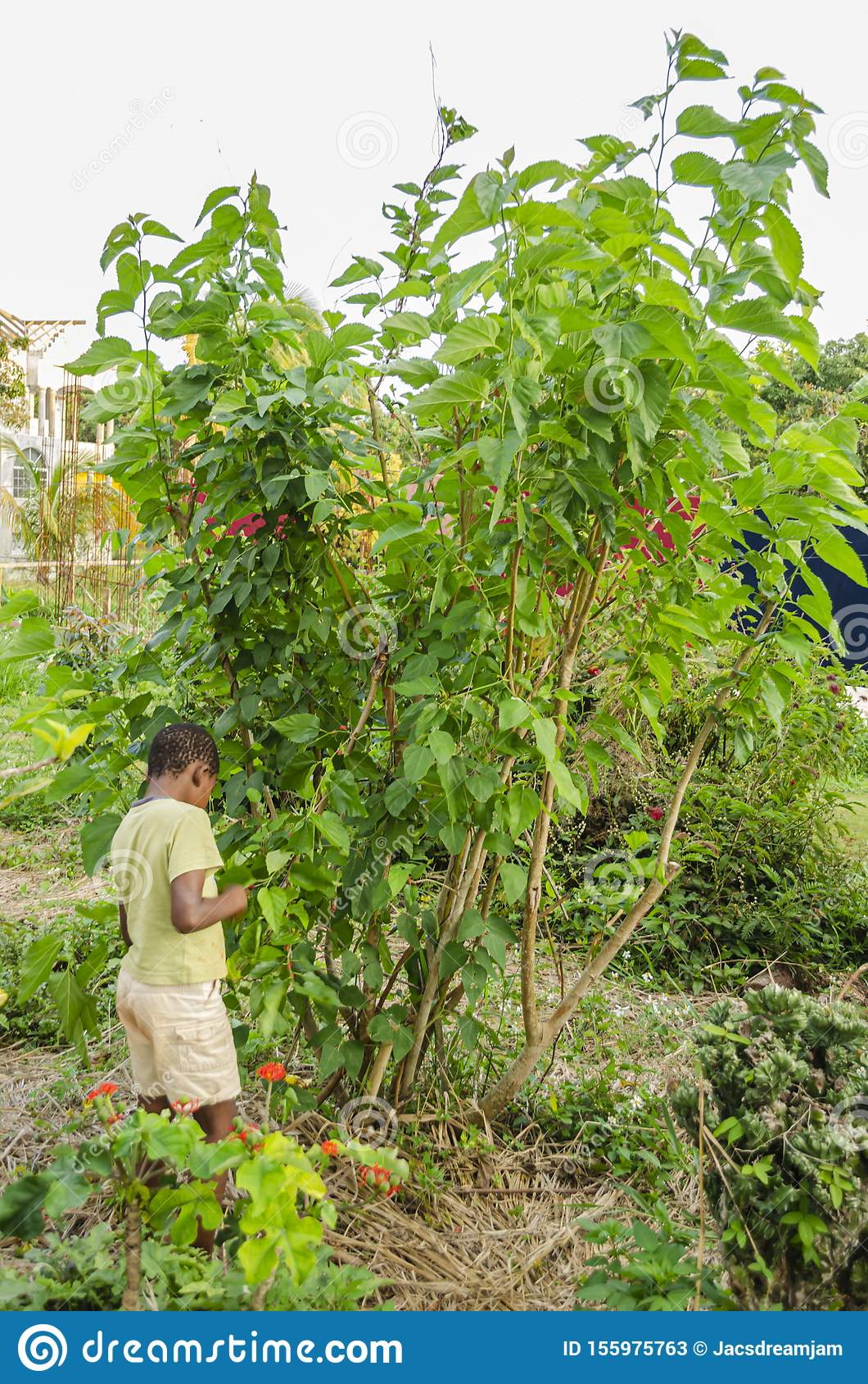 Boy At Mulberry Tree Branch Stock Image Image Of Fruiting