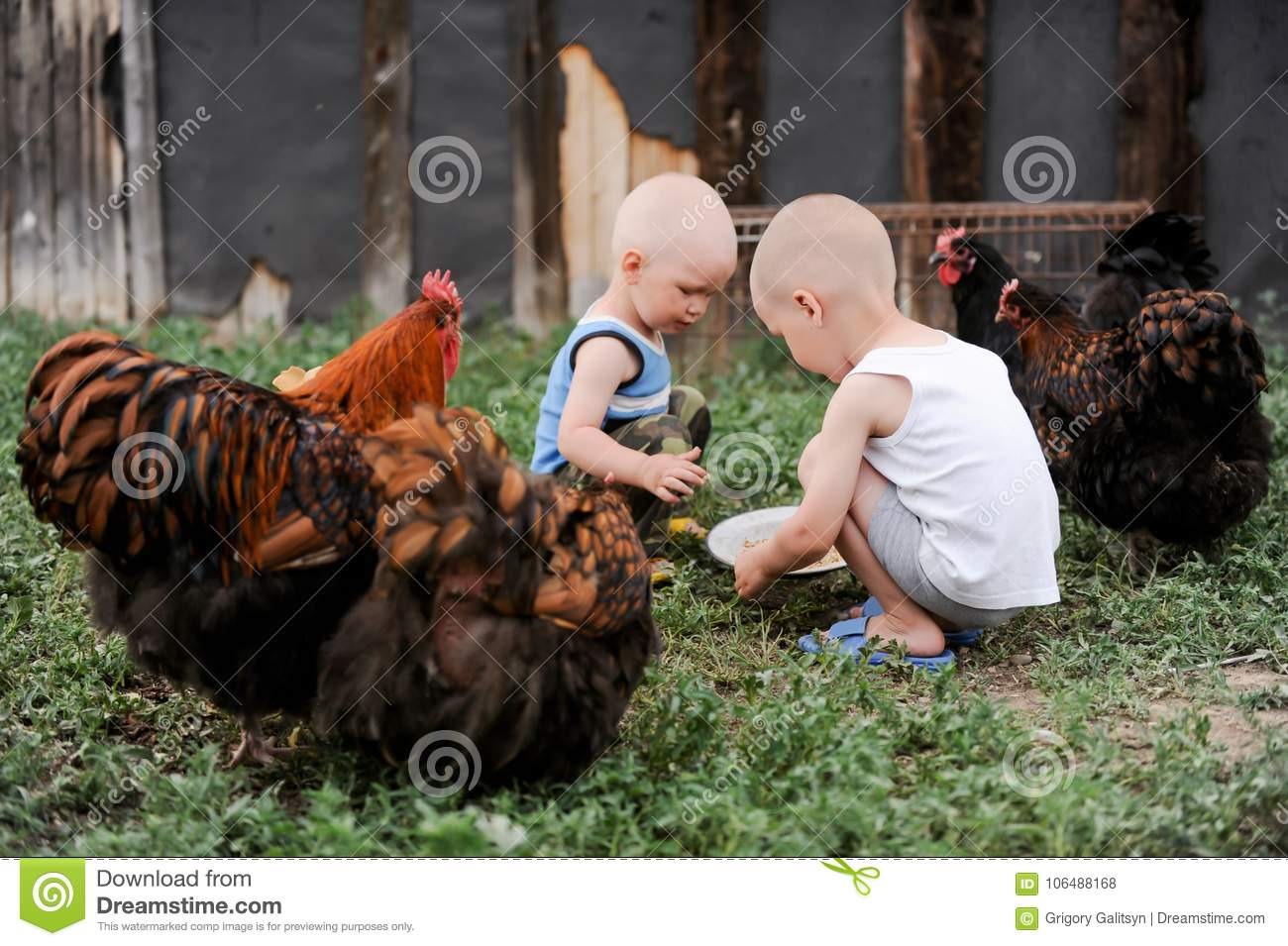 Boys feed chickens and farm animals on their father`s farm in the countryside