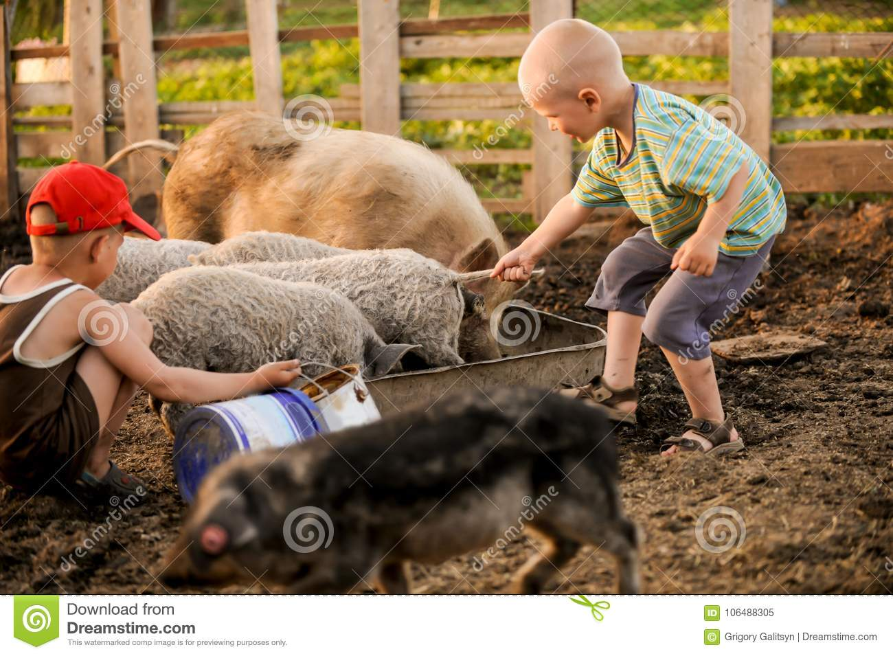 The boys take care of the pigs and feed them. The concept of small farms