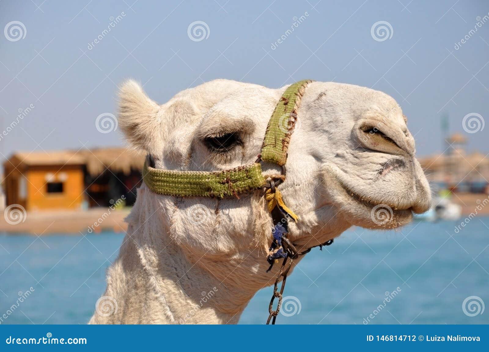 Bozal del camello Retrato de un cierre blanco del camello para arriba Egipto, d?a de verano soleado