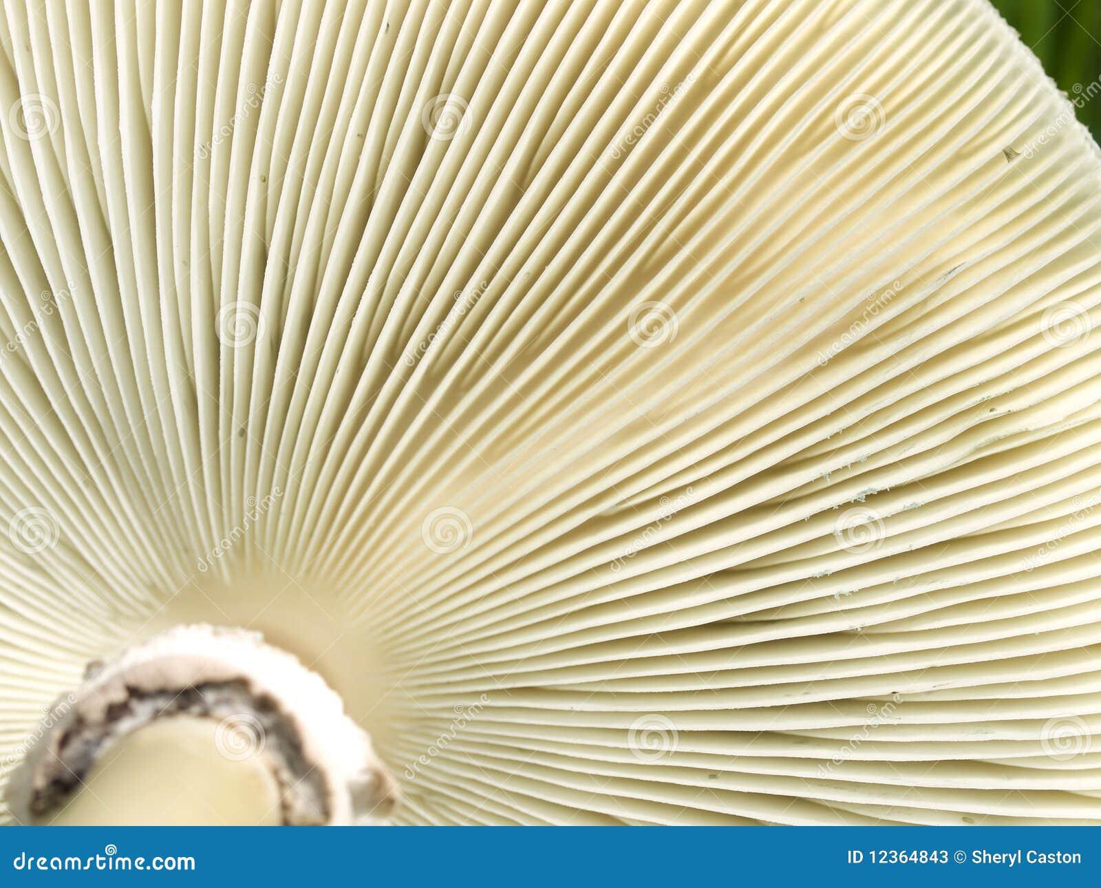 Brânquias do lado de baixo da textura dos fungos de cogumelo