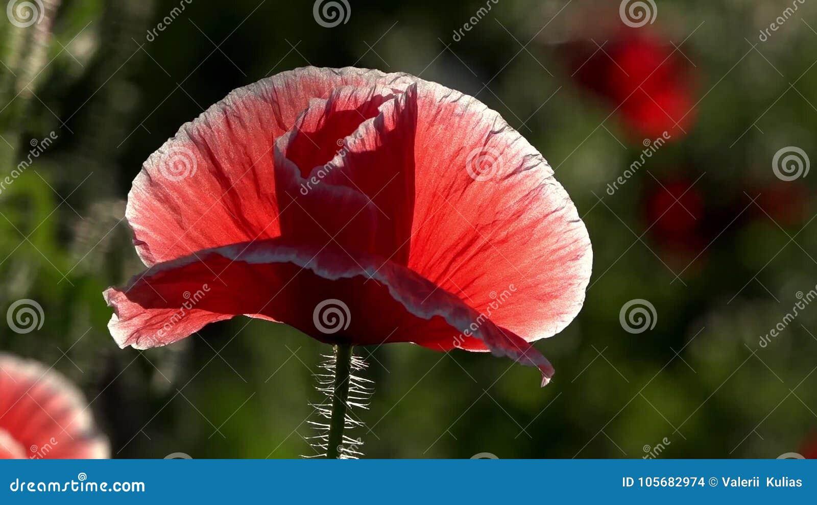 """Bräcklig delikat varelse Lilor rosa färger, vallmo för röd olik †"""" arkivfilmer"""